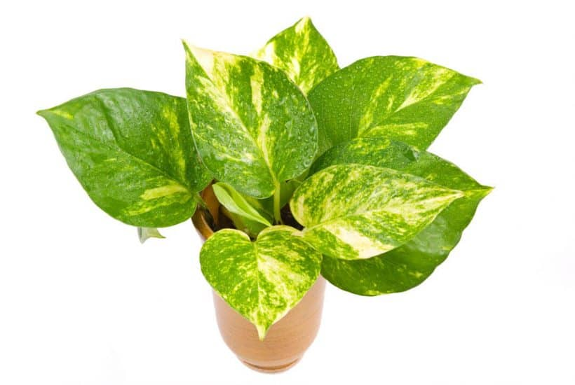 Pothos plant with large green leaves with yellow color variant in terra cota color planter